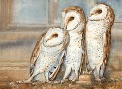 Barn Owls 1