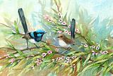 Blue Wrens 26