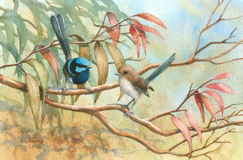 Blue Wrens 27