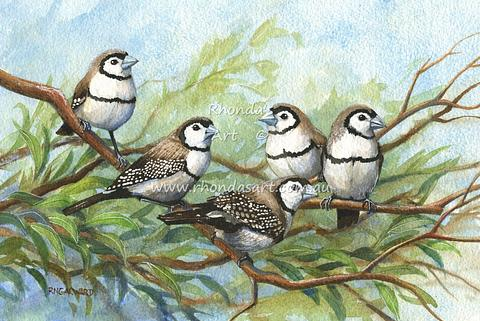 Double-barred Finches 1
