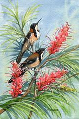 Eastern Spinebill 2
