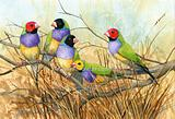 Gouldian Finches 6