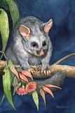 Brushtail Possum 4