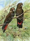 Glossy-black Cockatoos 1
