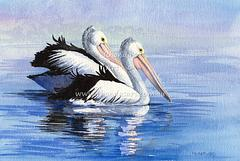 Pelicans floating 1