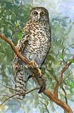 Powerful Owl 1