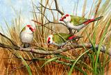Red browed Finches 5