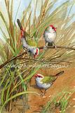 Red browed Finches 4