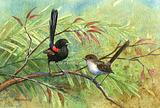 Red-backed Wrens 2