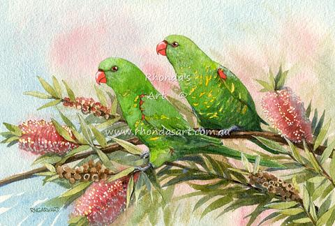 Scaly-breasted Lorikeets 1