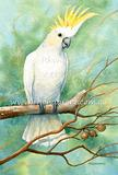Sulphur-crested Cockatoo 9