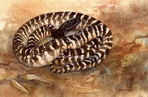 Black-headed Python 1