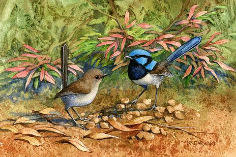 Blue Wrens 37