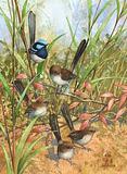 Blue Wrens 29