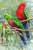 King Parrot 14