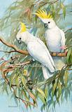 Sulphur-crested Cockatoo 10