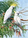Sulphur-crested Cockatoo 15