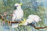 Sulphur-crested Cockatoo 11