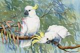 Sulphur-crested Cockatoo 11
