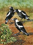 Magpies  23