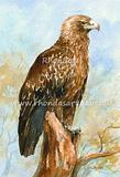 Wedge-tailed Eagle 2