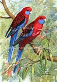 Crimson Rosellas 4