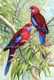 Crimson Rosellas 6