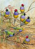 Gouldin Finches