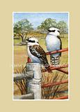 Kookaburra 51