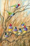 Gouldian Finches 2