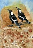 Chattering Magpies