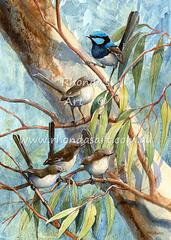 Blue Wrens 11