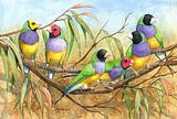 Gouldian Finches 7