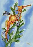 Weedy Sea Dragon 1