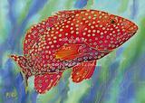 Coral Cod