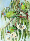 Swift Parrot Swpar 1