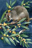 Ringtail Possum 4