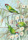 Three Musk Lorikeets